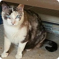 Siamese Cat for adoption in Austin, Texas - Chiva