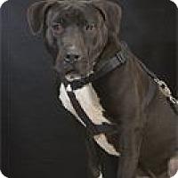 Adopt A Pet :: Ice - Phoenix, AZ