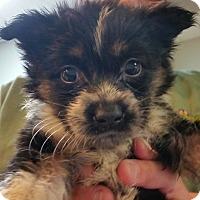 Adopt A Pet :: Rain - Phoenix, AZ