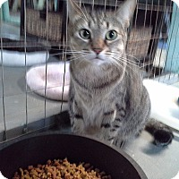 Domestic Shorthair Cat for adoption in Honolulu, Hawaii - Alex