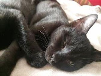 Domestic Shorthair Cat for adoption in Bulverde, Texas - Hercules 2