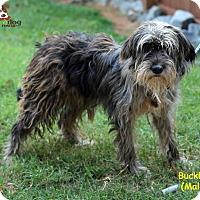 Adopt A Pet :: Buckley - Alpharetta, GA
