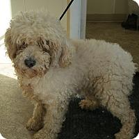 Lisbon Ia Poodle Miniature Mix Meet Teddy A Dog For Adoption