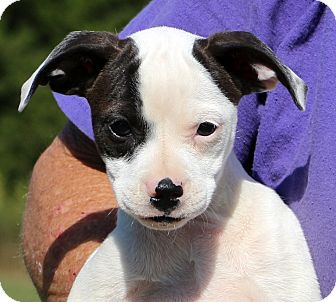 boston terrier jack russell glastonbury ct boston terrier jack russell terrier mix 6579