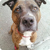 Adopt A Pet :: Bruno - Brooklyn, NY