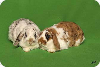Lop, Holland Mix for adoption in Idaho Falls, Idaho - Andrea (Andy)