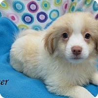 Adopt A Pet :: Dash - Bartonsville, PA