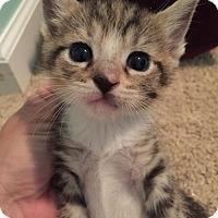 Adopt A Pet :: Callie - Herndon, VA