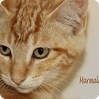 Domestic Shorthair Cat for adoption in Idaho Falls, Idaho - Marmalade