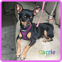 Adopt A Pet :: Carrie - Hollywood, FL