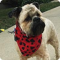 Brussels Griffon/Lhasa Apso Mix Dog for adoption in Overland, Kansas - STEVIE WONDER near KANSAS CITY