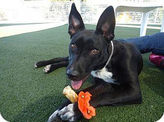 Australian Kelpie/Shepherd (Unknown Type) Mix Dog for adoption in Paso Robles, California - Pip Squeak
