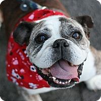 Adopt A Pet :: Becky - Canoga Park, CA