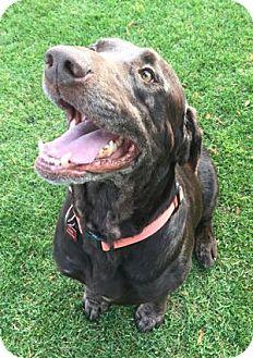 Labrador Retriever Dog for adoption in San Francisco, California - Cola