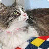 Domestic Mediumhair Cat for adoption in Carlsbad, California - BALI