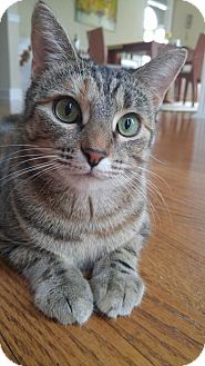 Domestic Shorthair Cat for adoption in knoxville, Tennessee - Shannon Female (Manx)