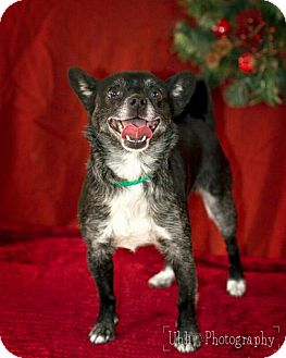 Terrier (Unknown Type, Medium)/Chihuahua Mix Dog for adoption in LITTLETON, Colorado - Pepper
