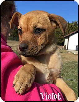 Shepherd (Unknown Type)/Mixed Breed (Medium) Mix Puppy for adoption in Buda, Texas - Violet (ADOPT PENDING)