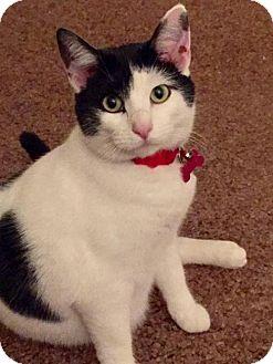 Domestic Shorthair Cat for adoption in Rootstown, Ohio - Elsie Mae - Cat