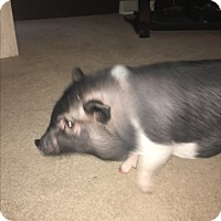Pig (Potbellied) for adoption in Sterling Heights, Michigan - Oreo