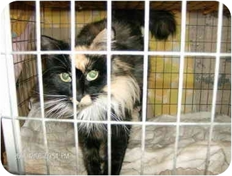 Domestic Longhair Cat for adoption in Boston, Massachusetts - Holly