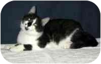 Domestic Shorthair Cat for adoption in Powell, Ohio - Freddy
