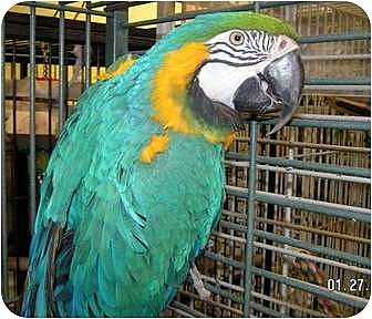 Macaw for adoption in Edgerton, Wisconsin - Cosmos