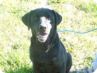 Labrador Retriever Mix Dog for adoption in Zanesville, Ohio - # 253-12 Adopted!