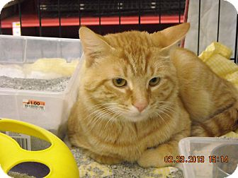 Domestic Shorthair Cat for adoption in Riverside, Rhode Island - Milo