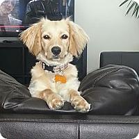 Adopt A Pet :: Sierra - La Habra Heights, CA