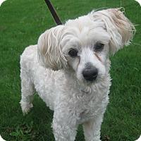Adopt A Pet :: Bon Bon - Tumwater, WA
