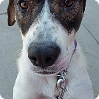 Adopt A Pet :: WHITNEY- NEEDS A FOSTER!!! - Birmingham, MI