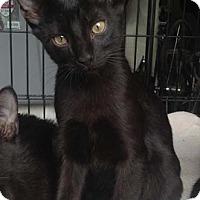 Adopt A Pet :: Mowgli - Merrifield, VA