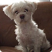 Adopt A Pet :: Diamond bonded with Gibbs - Las Vegas, NV