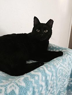 Domestic Shorthair Cat for adoption in San Jose, California - Sabrina