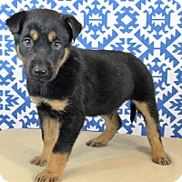 Adopt A Pet :: Andy - Starkville, MS
