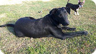 Labrador Retriever/Labrador Retriever Mix Dog for adoption in Ravenna, Texas - Bowser