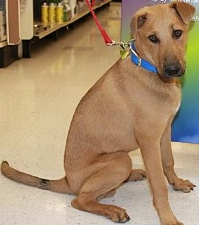 Rhodesian Ridgeback Mix Dog for adoption in Gilbert, Arizona - Jerome