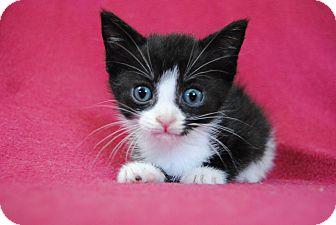 Domestic Shorthair Kitten for adoption in Davison, Michigan - Jasper