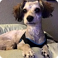 Lhasa Apso/Poodle (Miniature) Mix Puppy for adoption in Rosamond, California - Daisy
