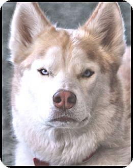 Siberian Husky Dog for adoption in Monument, Colorado - DJ