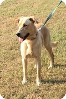 Labrador Retriever/Shepherd (Unknown Type) Mix Dog for adoption in Staten Island, New York - Jack - sweet boy