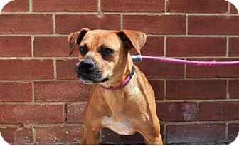 Boxer Mix Dog for adoption in Mooresville, North Carolina - Taylor Swift