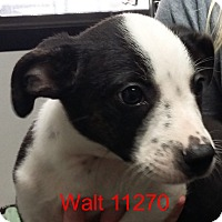 Adopt A Pet :: Walt - baltimore, MD