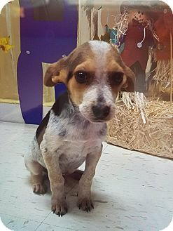 Beagle/Blue Heeler Mix Puppy for adoption in Patterson, New York - Tobey