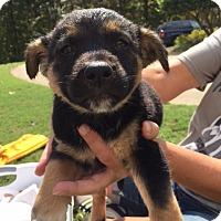 Adopt A Pet :: Porsche - Roswell, GA