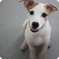 Adopt A Pet :: Spottie - Phoenix, AZ