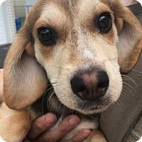Adopt A Pet :: Khaleesi - Warrenville, IL