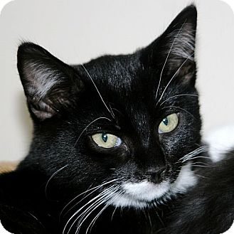 Domestic Shorthair Kitten for adoption in Port Angeles, Washington - Dancer