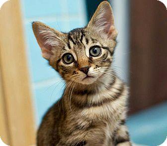 Domestic Shorthair Kitten for adoption in Troy, Michigan - Leonardo